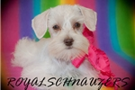 Picture of AKC TCUP WHITE CHOCOLATE FEMALE