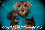 Picture of AKC TOY SALT AND PEPPER MALES/FEMALES
