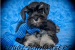 Picture of AKC TOY BLACK AND SILVER M  (5yr health guarantee)