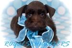 Picture of AKC Tiny Toy Chocolate Mini Schnauzer Puppies