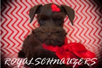 Schnauzer, Miniature for sale