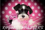 Picture of AKC MEGACOATED BLACK PARTI TINY TOY FEMALE