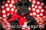 Picture of AKC TOY Black n White Parti Megacoat Female