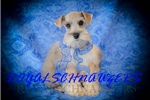 Picture of AKC TINY TOY MEGACOATED MALE MINIATURE SCHNAUZER