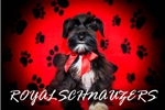 Picture of AKC TOY BLACK MALE MINIATURE SCHNAUZER