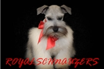 Picture of AKC TOY MEGACOATED PLATINUM MINIATURE SCHNAUZER