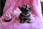 Picture of Teacup yorkie female Josie