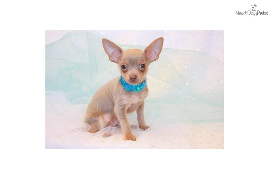 Chihuahua Dogs For Sale In Kansas City