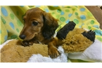 Picture of  Pretty  baby. Dachshund