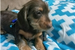 Picture of Adorable Doxie