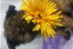 Picture of Petunia