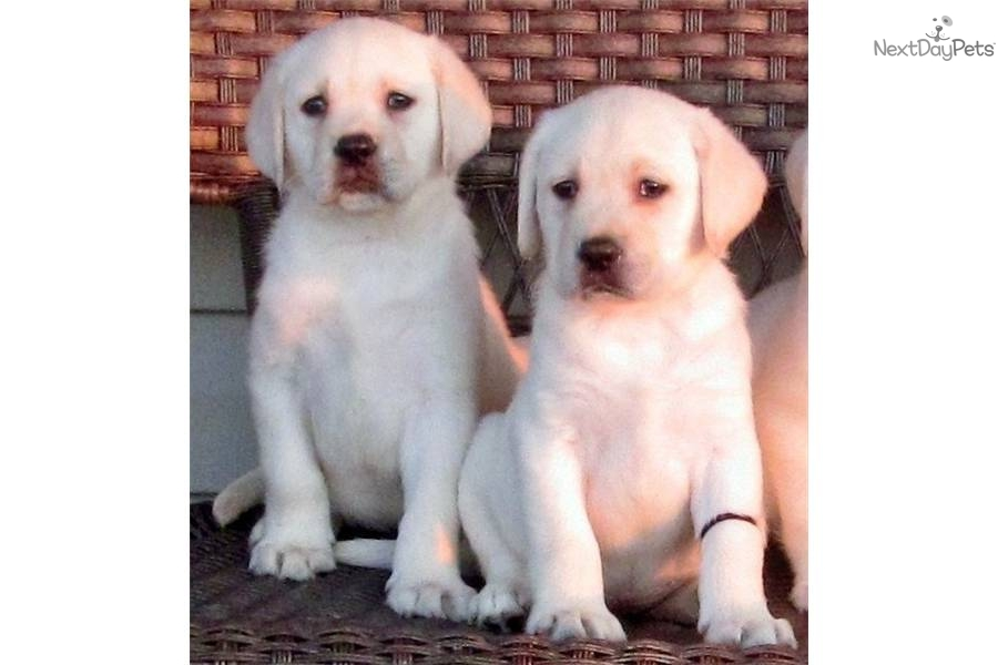 English Chocolate Lab Puppies For Sale In Michigan Hdjpg | Dog Breeds ...