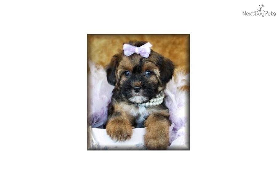 Puppy World Yorkie Poo Puppy Pictures