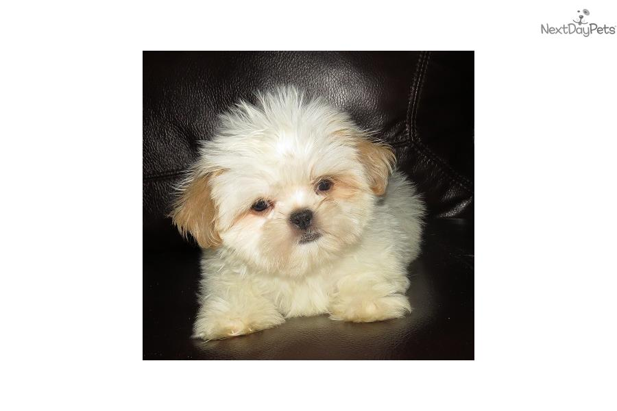 Shih Tzu Breeder Near Me 29710