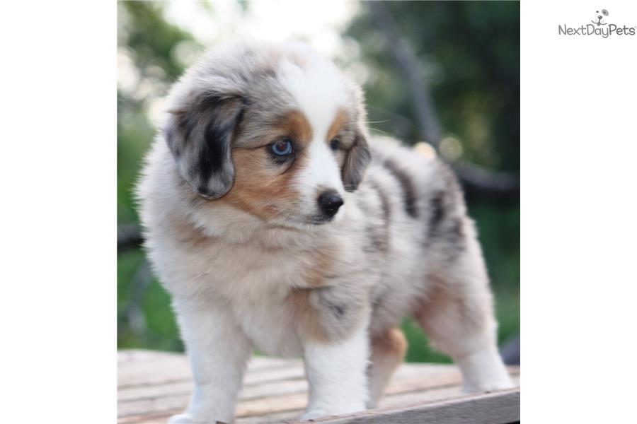 australian shepherd puppy for sale near dallas fort