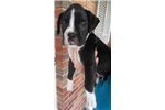 Picture of Bentley, AKC reg. Sealed Brindle Boxer Boy