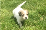 Picture of For Sale Abby the female Shorkie
