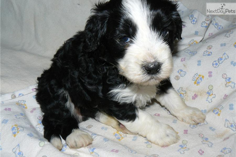 Spanish Water Dog Puppies For Sale Usa