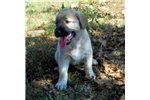 Picture of AKC- LUCIE
