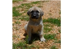 AKC- PRINCE | Puppy at 8 weeks of age for sale