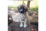 Picture of AKC - KRINGLE