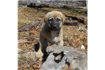 Anatolian Shepherd for sale