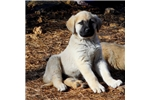 Anatolian Shepherd for sale