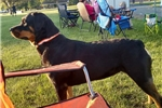 Picture of AKC CHAMPION BRED JAKE