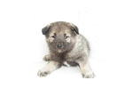 Picture of a Norwegian Buhund Puppy