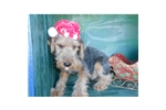 Picture of a Welsh Terrier Puppy