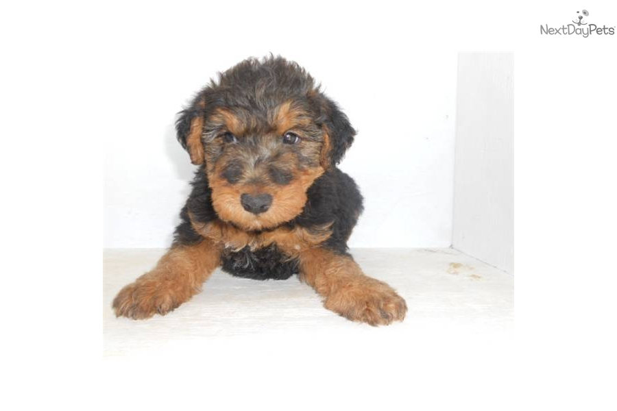 Price Of Welsh Terrier Welsh Terrier for sale...