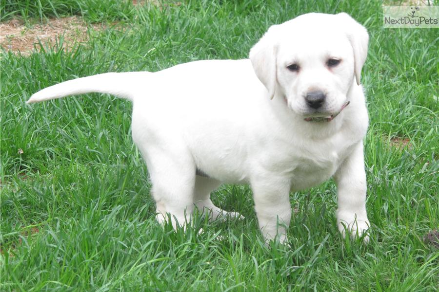 White English Labrador Retriever Puppies