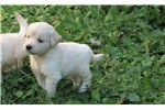 Labrador Retriever for sale