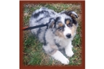 Picture of a Miniature Australian Shepherd Puppy