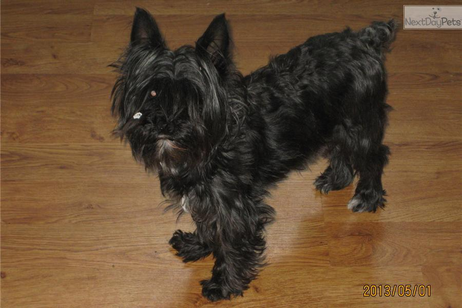 Adopt MID NIGHT a Schnoodle Puppy for ???. 3 YEAR OLD FEMALE
