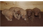 Picture of ASD Kennels Chesapeake Girls