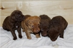 Picture of ASD Kennels Chesapeake Boys