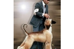 Featured Breeder of Afghan Hounds with Puppies For Sale