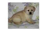 Featured Breeder of Labrador Retrievers with Puppies For Sale