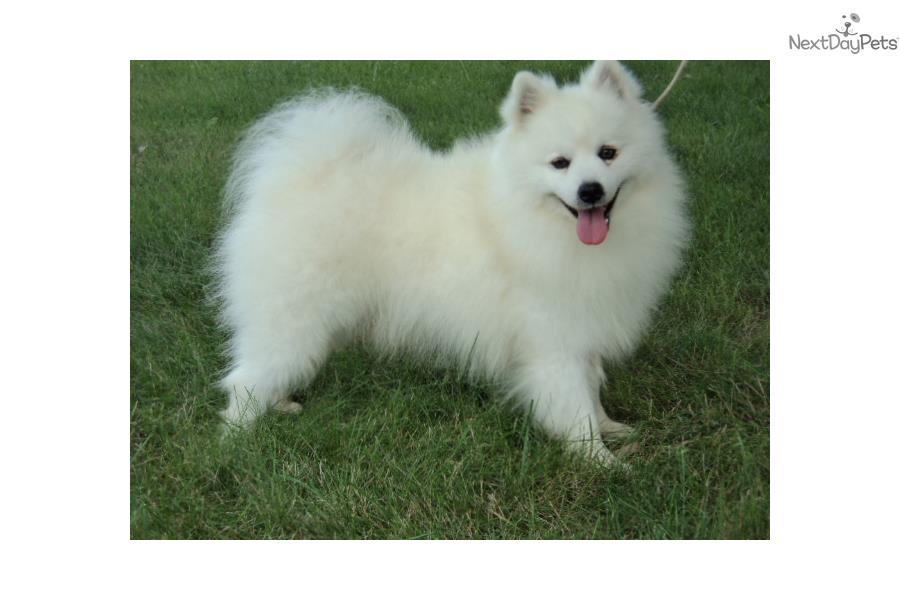 American Eskimo Dog Puppies For Sale Price