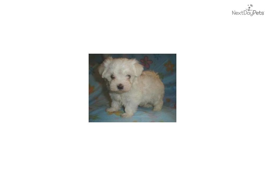 maltese-puppy-for-sale-bayside-queens-nydog-maltese-puppy-f5b28abb