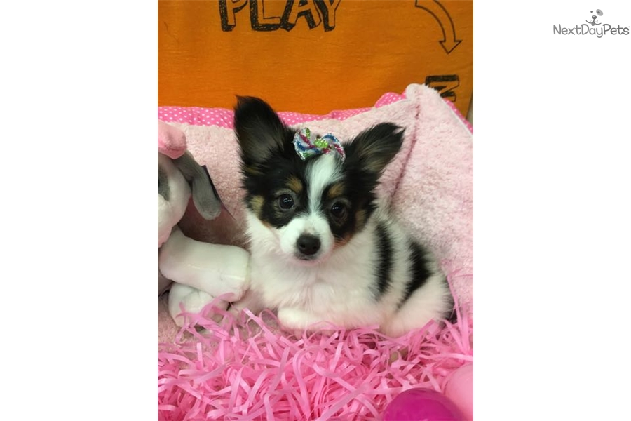 Papillon puppy for sale near new york city new york for Papillon new york