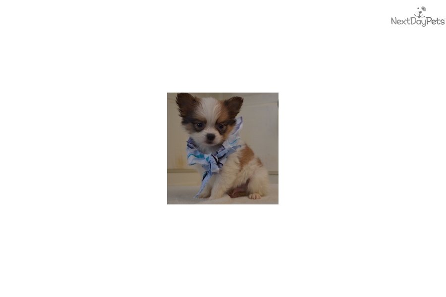Charlie papillon puppy for sale near new york city new for Papillon new york