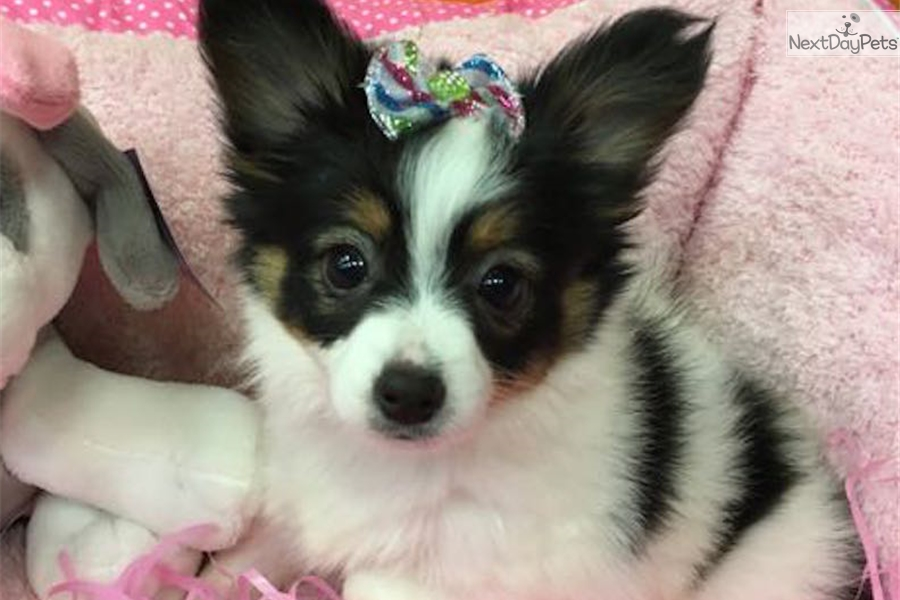 Ariel papillon puppy for sale near new york city new for Papillon new york