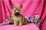 Picture of Mufasa Cute Yorkie Puppy for Sale Queens NY