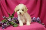 Tuke cute Cockapoo Puppy for Sale Queens NY | Puppy at 17 weeks of age for sale