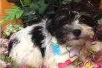 Picture of Mulan is a cute Havanese Puppy for Sale NY