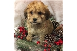 Picture of JERRY is a cute Lhasapoo Puppy for Sale NY