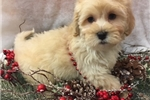 Picture of TOM is a cute Lhasapoo Puppy for Sale NY