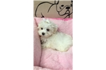 Picture of Snowwhite Cute Maltese Puppy for Sale Queens NY